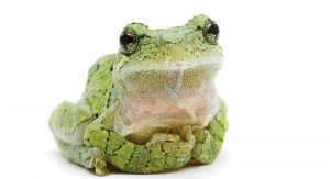 1-Gray-Treefrog-CURIOUS-CRITTERS-David-FitzSimmons