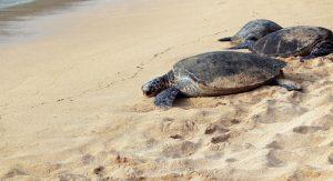 Sea-Turtle-Hospital-Fundraiser