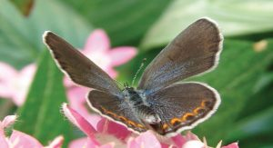 Karner-Blue-Female-Butterfly