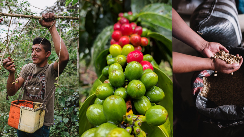 "(LEFT) Nolberto, age 21. Coffee farmer from San Ignacio, Peru. He was forced to assume the role as head-of-household when his father passed away when he was 15. Recently, his coffee was rated an 86 on the ""coffee quality scale"" and, when asked to describe how he'll improve his coffee production, he stated, ""By being innovative."" (CENTER) Coffee fruits in the process of ripening. A red fruit, also known as a ""cherry,"" is ready to be picked; each cherry contains two coffee beans. (RIGHT) Coffee being harvested in Northern Peru."