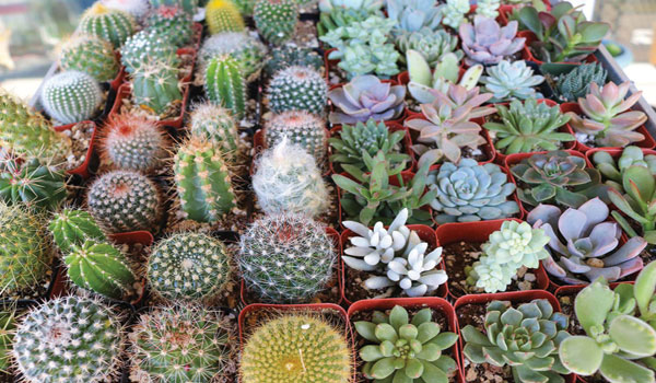 cactus-show