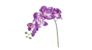 orchid-toledo-ohio