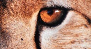Art-Notes---East-Africa---Cheetah-Eye