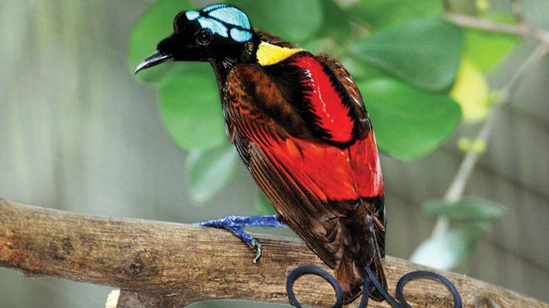 On-the-Radar--National-Geo---Wilson_s_Bird_of_Paradise_Best