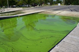 Toxic algae turns the water in Point Place's Cullen Park green. Photo credit: Markie Miller.